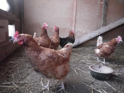 poules_1